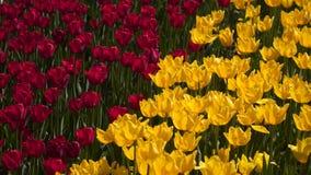 Campo de tulipanes rojos y amarillos