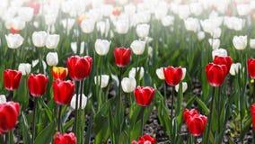 Campo de tulipanes rojos y blancos Foto de archivo libre de regalías