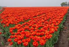 Campo de tulipanes rojos y de color naranja ardientes Imágenes de archivo libres de regalías