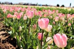 Campo de tulipanes rosados Fotos de archivo
