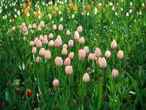 Campo de tulipanes rosados jovenes foto de archivo