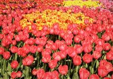 Campo de tulipanes rosados y amarillos Fotos de archivo libres de regalías
