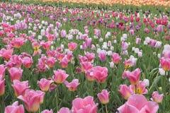 Campo de tulipanes rosados y blancos coloridos Imagen de archivo libre de regalías