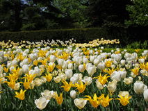 Campo de tulipanes y de narcisos Fotografía de archivo