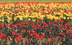 Campo de tulipas brilhantes Fotografia de Stock Royalty Free