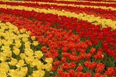 Campo de tulipas coloridas. Fotos de Stock Royalty Free