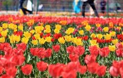 Campo de tulipas coloridas, amarelo e vermelho fotografia de stock