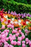 Campo de tulipas diferentes foto de stock royalty free