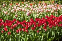 Campo de tulipas diferentes com tulipas vermelhas em um primeiro plano e as tulipas cor-de-rosa no fundo Fotografia de Stock