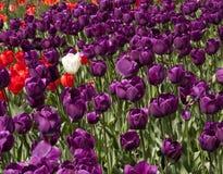 Campo de tulipas roxas Fotos de Stock Royalty Free