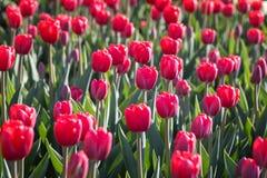 Campo de tulipas vermelhas de florescência Fotos de Stock