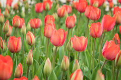 Campo de tulipas vermelhas de florescência bonitas Foto de Stock Royalty Free