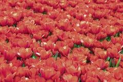 Campo de tulipas vermelhas de florescência Mola, verão, fundo natural pitoresco brilhante Foto de Stock Royalty Free