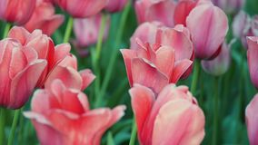 Campo de tulipas vermelhas frescas bonitas video estoque