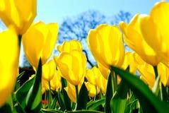 Campo de tulips amarelos Imagens de Stock