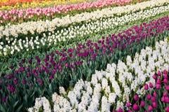 Campo de tulips coloridos e dos hyacinths brancos Imagem de Stock