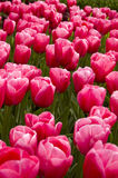 Campo de tulips cor-de-rosa foto de stock royalty free