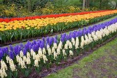 Campo de tulips e de hyacinths coloridos Imagem de Stock Royalty Free