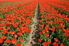 Campo de tulips vermelhos Foto de Stock