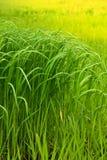 Campo de uma grama elevada verde Foto de Stock Royalty Free