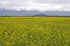 Campo de una hierba amarilla. Fotografía de archivo