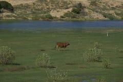 Campo de vacas Fotografía de archivo libre de regalías