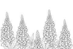 Campo de vetor com o grupo da flor do tremoceiro ou do Lupine ou do Bluebonnet do esboço, o botão e folhas ornamentados no preto  ilustração royalty free