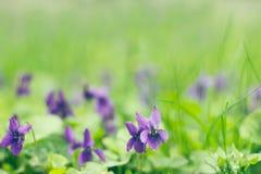 Campo de violetas Fotos de archivo