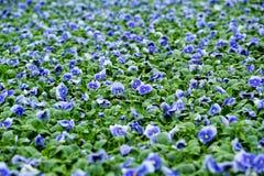 Campo de violetas azules coloridas Imagen de archivo