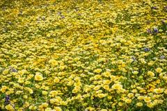 Campo de wildflowers en Mori Point, costa del Océano Pacífico, Pacifica, California fotografía de archivo