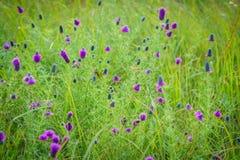 Campo de Wildflowers púrpuras Imágenes de archivo libres de regalías