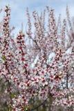 Campo degli alberi del fiore della mandorla in la stagione di primavera Immagine Stock