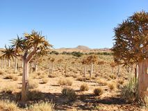 Campo degli alberi del fremito Fotografia Stock