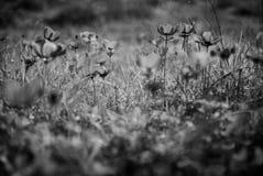 Campo degli anemoni dei raggi x Fotografia Stock Libera da Diritti
