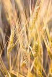 Campo dei cereali Immagini Stock Libere da Diritti