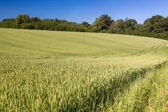 Campo dei cereali verdi di estate Vista di agricoltura Immagine Stock