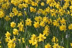 Campo dei Daffodils Immagine Stock