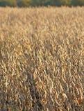 Campo dei fagioli della soia Fotografie Stock Libere da Diritti