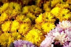 Campo dei fiori. Fotografia Stock