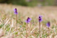 Campo dei fiori alpini di alpina di soldanella dello snowbell Immagini Stock Libere da Diritti