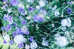 Campo dei fiori blu minuscoli, tono fresco e basso d'annata in profondità del campo Fotografie Stock Libere da Diritti