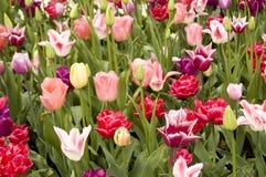 Campo dei fiori del colourfull Fotografia Stock Libera da Diritti