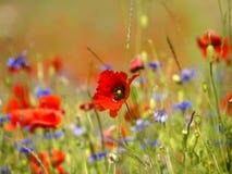 Campo dei fiori del papavero fotografia stock