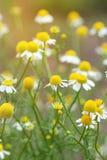 Campo dei fiori della camomilla Fine in su Fotografia Stock