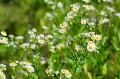 Campo dei fiori della margherita Fotografia Stock Libera da Diritti