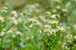 Campo dei fiori della margherita Fotografie Stock Libere da Diritti