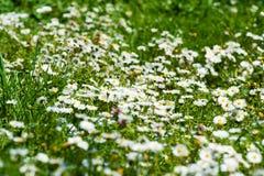 Campo dei fiori della margherita Fotografia Stock