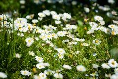 Campo dei fiori della margherita Immagini Stock Libere da Diritti