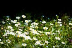 Campo dei fiori della margherita Immagine Stock Libera da Diritti