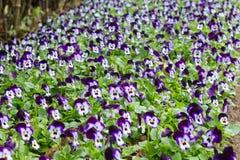 Campo dei fiori della pansé Immagine Stock